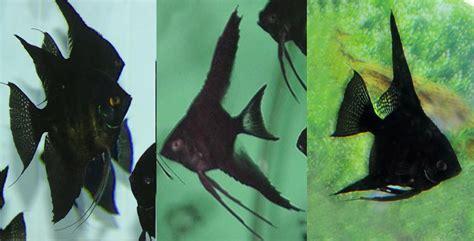 jual ikan man fishangel fish menjual berbagai jenis ikan hias air tawar  berbagai ukuran