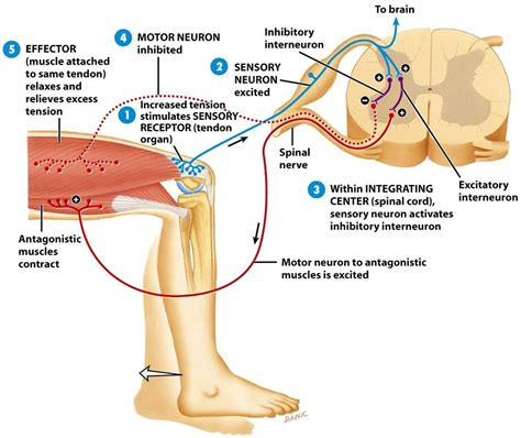 diagram of knee reflex the stretch reflex society international