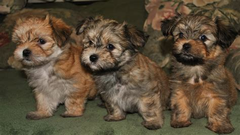 havanese breeders in ontario havanese puppies