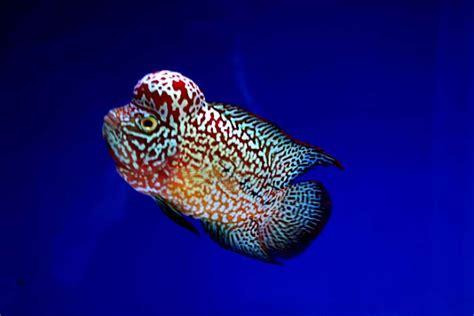 Pakan Ikan Louhan Srd flowerhorn the hybrid cichlids king viper sweet