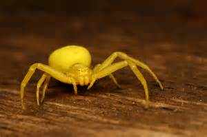 yellow crab spider by macrojunkie on deviantart
