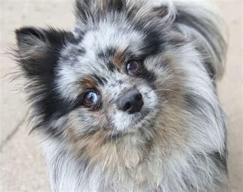 lavender pomeranian puppies 25 best blue merle pomeranian ideas on blue pomeranian pomeranian puppy