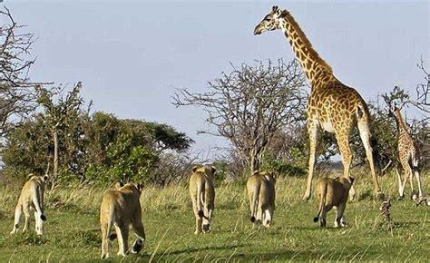 Imagenes De Leones Cazando Jirafas | image gallery leones cazando jirafas