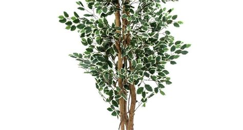 Potatura Ficus Benjamin by Potatura Ficus Benjamin Tecniche Di Giardinaggio