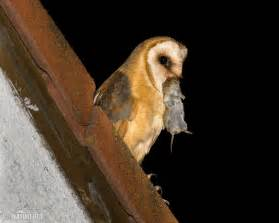 Barn Owl Owlets Barn Owl Pictures Barn Owl Images Naturephoto