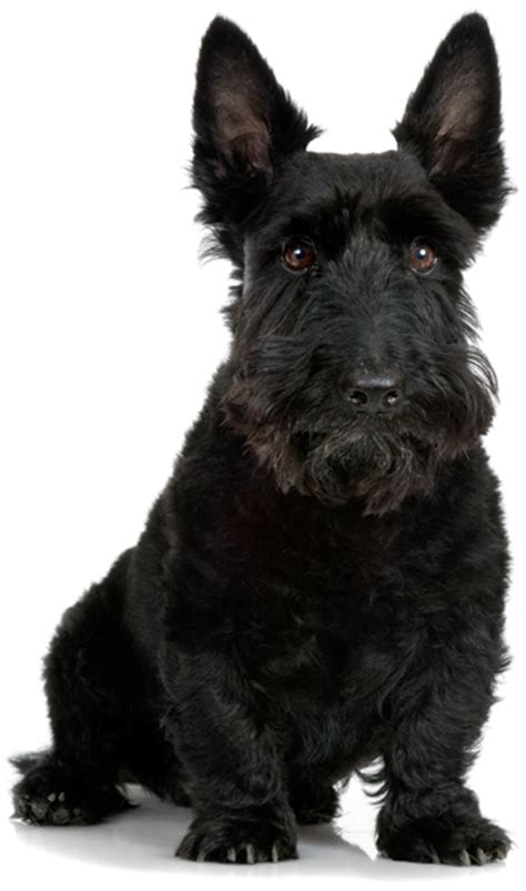 Types Of Scottie Grooming Styles | scottish terrier haircuts newhairstylesformen2014 com