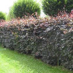 Purple Flowering Bushes Shrubs - hedging for dry sites best4hedging