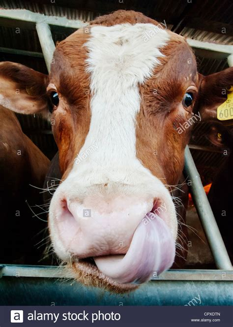 cow lick pic cows lick stock photo royalty free image 48524805 alamy