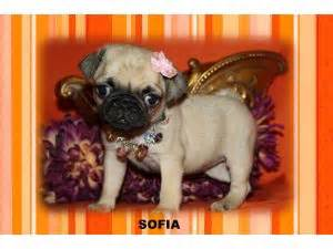 pugs for sale in el paso tx pug puppies in