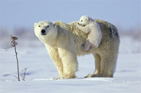 baby polar is hiching a ride on his teh