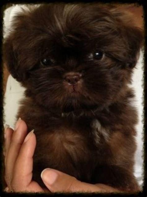 chocolate shih tzu chocolate shih tzu puppy so puppy