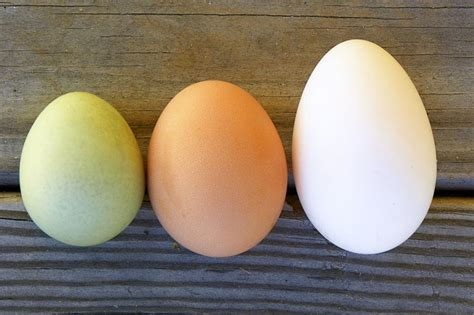 barred rock egg color barred rock chicken eggs