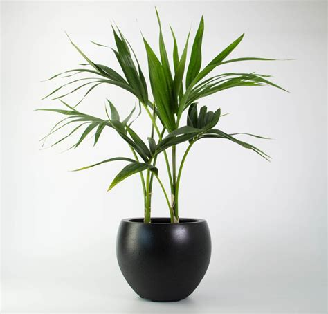 Plants In Planters by Kentia Palm In Black Pot Plantandpot Nz