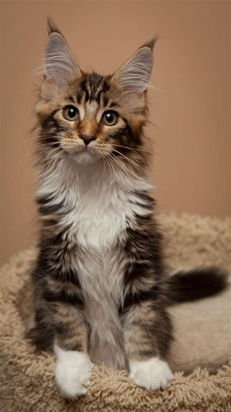 Types Of Cat Hair by 1000 Ideas About Maine Coon Cats On Maine