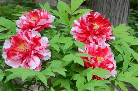 tree peony selection collection of three plants paeonia suffruticosa