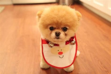 pictures of the cutest puppies in the world boo the cutest in the world images boo
