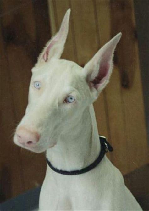 white doberman pinscher puppies best 25 white doberman pinscher ideas on doberman pinscher doberman