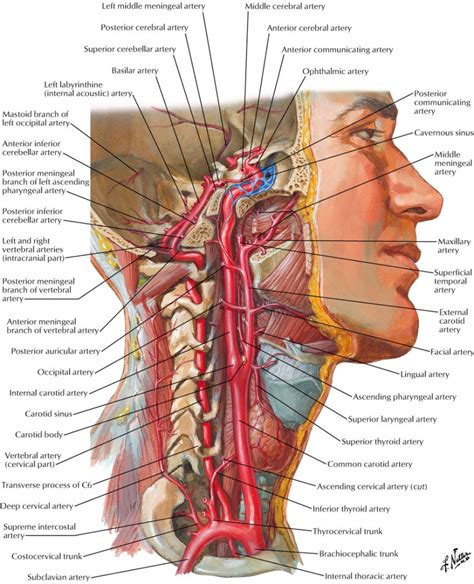 section body neck images anatomy cross section neck anatomy human