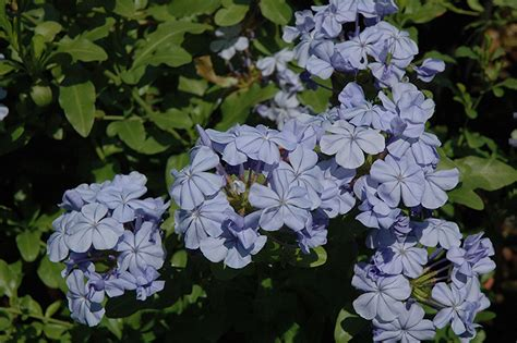 dark blue plumbago plumbago auriculata dark blue