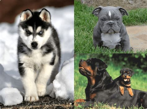 bully max for puppies bully max food supplements official website