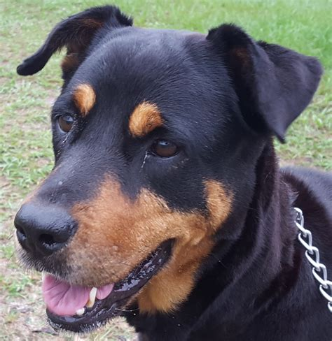 rescue rottweiler gulfstream guardian rottweiler rescue pets world