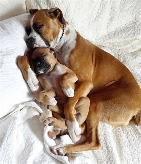 box of puppies boxer breed history breeds picture