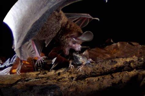 les etonnantes techniques de chasse des chauves souris