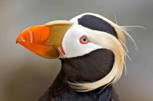 tufted puffin monterey bay area nature blog