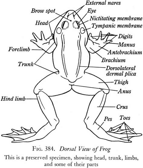 frog diagram bullfrog dissection charts educational science