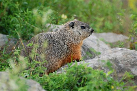 groundhog day groundhog name suzanne britton nature photography groundhog