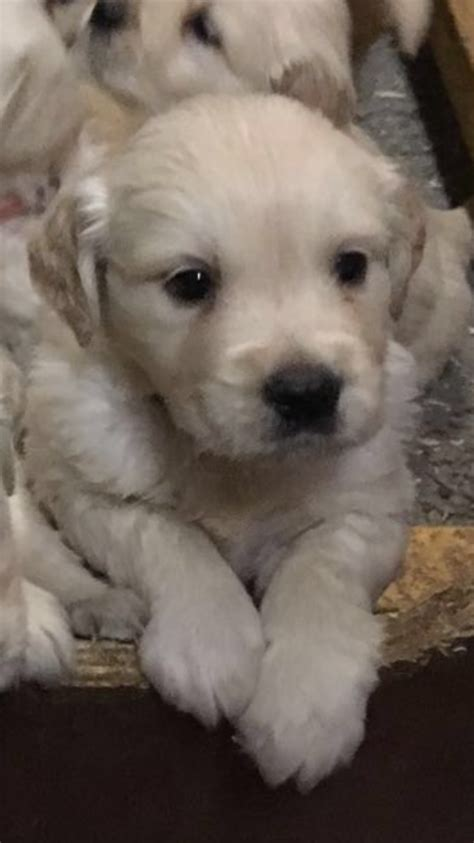 golden retriever puppies for sale in kent golden retriever puppies for sale canterbury kent pets4homes