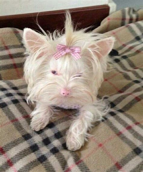 teacup yorkie diapers 17 best images about yorkers chorkies on