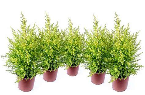 wann koniferen schneiden koniferen pflanzen schneiden d 252 ngen pflege