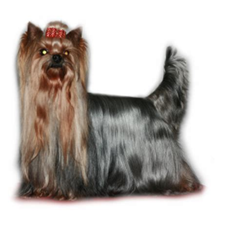 yorkie tails what do you do page 5 yorkietalk forums terrier community