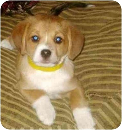 pomeranian and beagle pomeagle beagle pomeranian mix info puppies temperament pictures