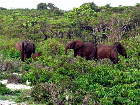 an forest elephant returns from the in gabon loango national park photos featured images of loango national park ogooue maritime province