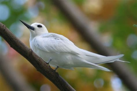 white tern wildlife birds hawaii pinterest
