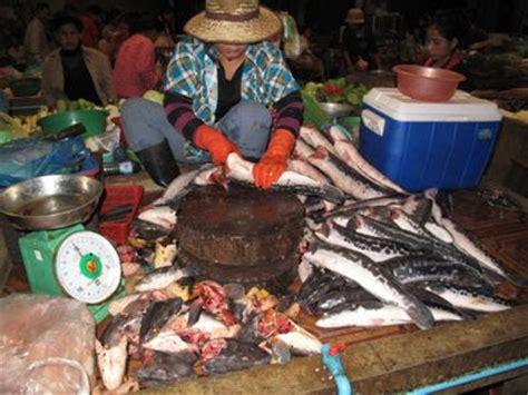 Makanan Ikan Gabus Hias ikan hias foto ikan betok