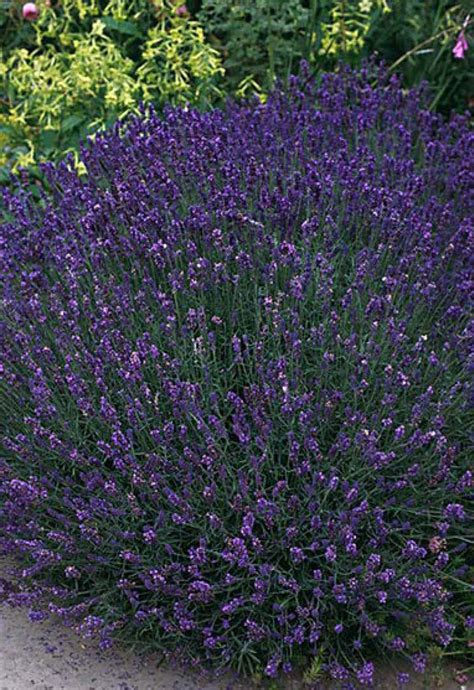 beechwood landscape architecture and construction true lavender featured plant of the day