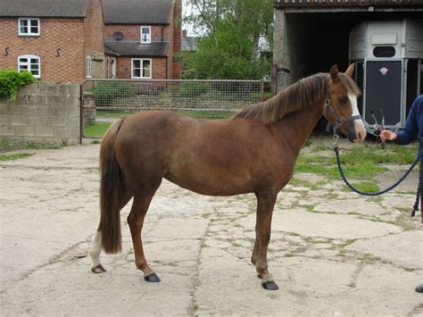 Section B Pony For Sale by Section B Mare Tewkesbury Gloucestershire