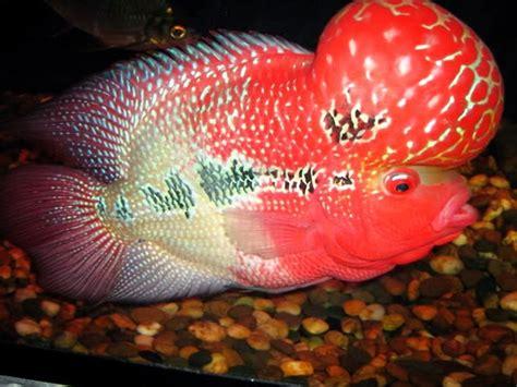 Pakan Ikan Louhan Hidup 20 jenis ikan louhan terbagus dan tercantik di dunia