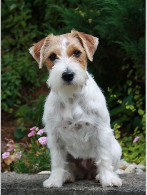 haircut ideas for long hair jack russell dogs look at that face jack russell wire haired