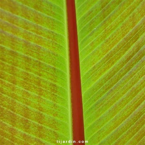 Bananier Decoratif by Vente Ensete Maurelii Bananier Pourpre D 233 Coratif Et