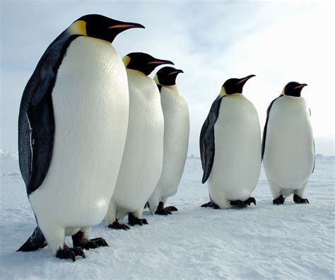 Penguin S emperor penguin 171 big animals