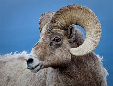 ram animal pictures ram animal pictures images and stock photos istock
