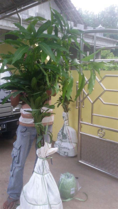 Bibit Mangga Alpukat Di Surabaya pengiriman aneka bibit buah ke surabaya agro bibit id