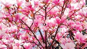 free spring summer wallpaper blooming magnolia tree