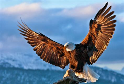 lovable images cute eagle hd birds images free download