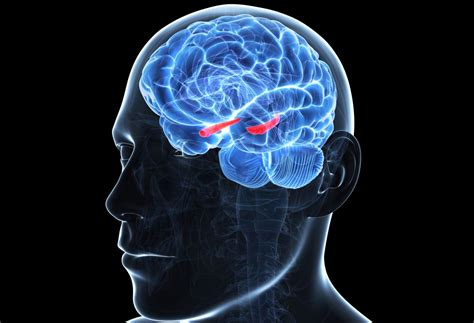 hippocampus role   limbic system