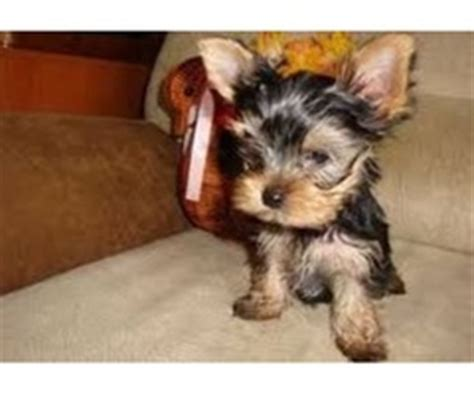 yorkie puppies baton akc registered terrier puppies available animals abita springs